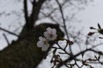 コロナで自粛ですが近所に桜咲いているか見に行ってみました。