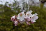 いくらコロナと言っても桜見ないと年度が替わらないですよね。