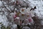 うちの桜はこれからだけど京都の桜は満開の模様ですね。