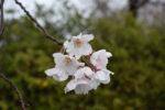 近所の桜を撮っているとやはり気になる京都の桜、嵐山思い出された。